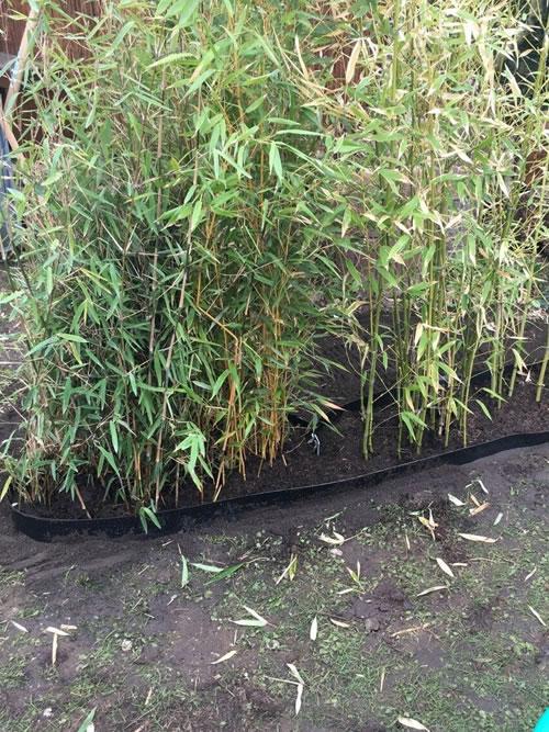 Bambus mit Wurzelsperre