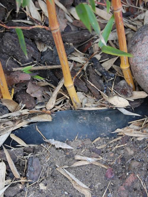 Bambuswurzel mit Sperre