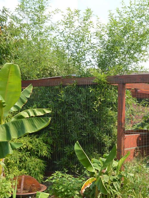 Bambus ohne Wurzelsperre